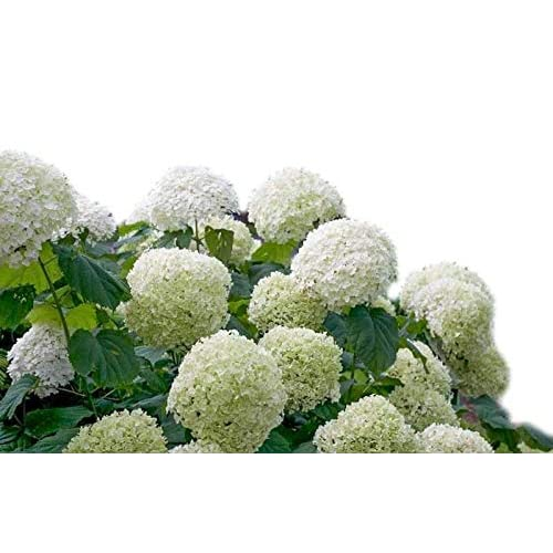 Discount Incrediball Smooth Hydrangea - Proven Winners - Live Plant - Quart Pot free shipping