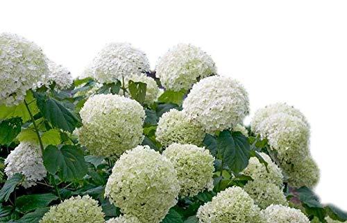 (New Life Nursery & Garden Incrediball Smooth Hardy Hydrangea, 3 Inch Pot)
