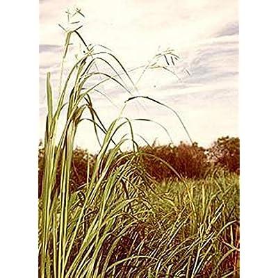 Ornamental Grass Seed - Spartina Pectinata Seeds : Garden & Outdoor