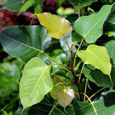 15 Seeds Ficus Religiosa Sacred Fig Tree - Ornamental Tropical Plant : Garden & Outdoor