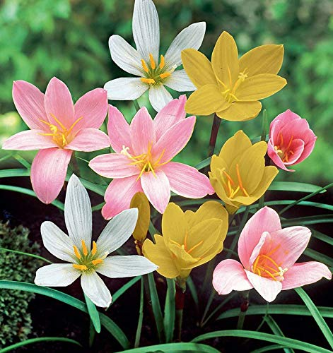 SLRIPL Zephyranthes (Rain Lily) and Flower Bulbs (Not Seeds) for...