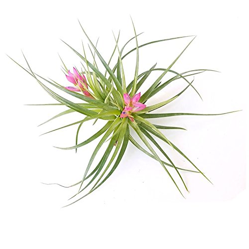 The Drunken Gnome AIR PLANTS – STRICTA HARD – 1 PACK - air purifying flowering tillandsia for terrarium, fairy garden starter kit, home office, indoor outdoor, corporate gift (1 PACK)