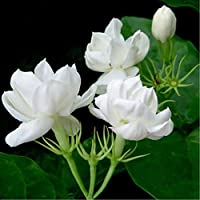 10 semillas / pack semillas de jazmín plantas de interior semillas de flores perennes
