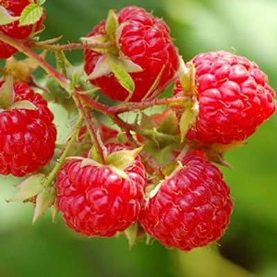 Heritage Red Raspberry Bush Seeds! Sweet! ! : Garden & Outdoor