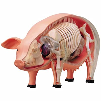 TEDCO Learn About Pig Anatomy - Build Your own 9 inch Model with 19 Detachable Parts (Age 8+): Toys & Games