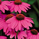 Echinacea-Coneflower Pow Wow Wild Berry - (3) LIVE PLANTS - Perennial Flower Plants - Echinacea Live Plant - Perennial Flowers Plants - Purple Flower - Live Plants - Perennial flowers - Cut Flower