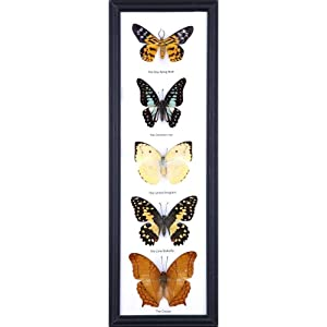 Five Real Framed Butterflies (Assorted Species) | Every Display Frame is Unique! | Real Butterfly Taxidermy Wall Decor | 18 x 7 inches