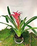"Bromeliad Guzmania Plant Bromeliads Orange Blazing Star Vase 6"" Pot ostara"