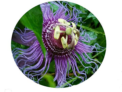Passion Flower Maypop - Incense Violet Purple Blue Passion Flower Vine Live Plant Passiflora Incarnata x cinnata Starter Size 4 Inch Pot Emeralds TM