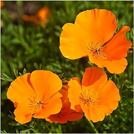 Amazon bulk package of 10 000 seeds orange california poppy bulk package of 10000 seeds orange california poppy eschscholzia californica non gmo mightylinksfo