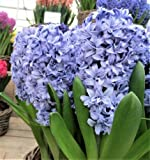 Bulbs of Hyacinthus orientalis, Hyacinth (Size 16/17) (10 Bulbs, Blue Tango)