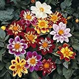 Outsidepride Dahlia Dandy Mix - 500 Seeds