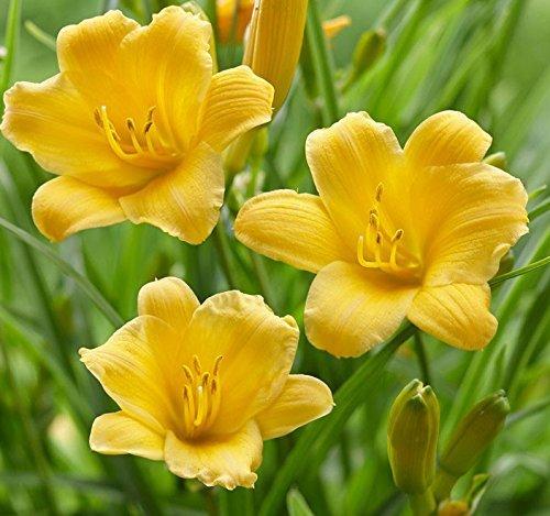 Dwarf Daylily (Lulan 10 Stella de Oro Dwarf Daylily Roots, Beautiful Yellow Flowering Hemerocallis Bare Root)