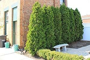 1 Starter Plant of Emerald Green Arborvitae