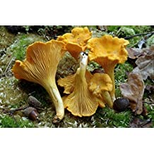 Chanterelle Mushroom (Cantharellus cibarius) Mycelium Spawn Dried Seeds (10g)