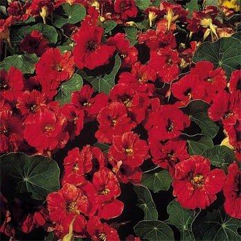 Outsidepride Nasturtium Mahogany Plant Flower Seeds - 200 Seeds