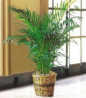 Delightful Amazon.com : Seeds And Things 10 Areca Palm Plant Seeds : Flowering Plants  : Garden U0026 Outdoor