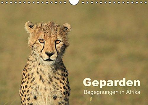 Geparden - Begegnungen in Afrika (Wandkalender 2016 DIN A4 quer): Die schnellste und zugleich eleganteste Großkatze der Welt in wunderbaren Bildern – ... (Monatskalender, 14 Seiten ) (CALVENDO Tiere)