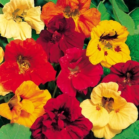 - Stonysoil Seed Company Dwarf Jewel Mix Nasturtium Seeds by