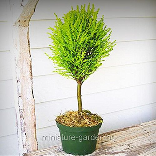 Miniature Fairy Garden Cupressus macrocarpa, Lemon Cypress Topiary Standard - My Mini Garden Dollhouse Accessories for Outdoor or House Decor (Standard Topiary)