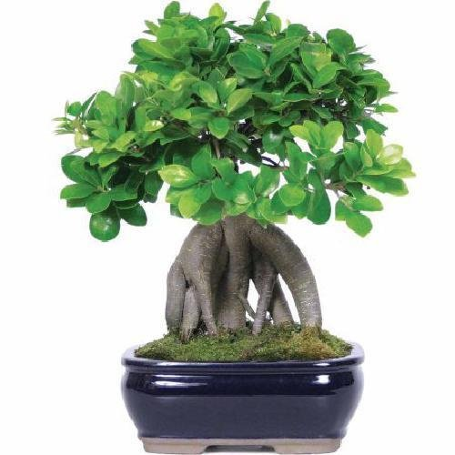 Ginseng Ficus Bonsai Tree Plant Indoor Houseplant Medium Ficus Gift Feng Shui -