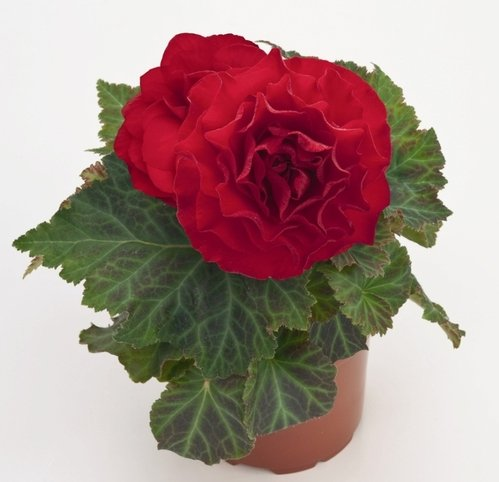 "(HPTB)~""DOUBLE DARK RED"" TUBEROUS BEGONIA~Seeds!!~~~~~~Houseplant or Shade Garden!"