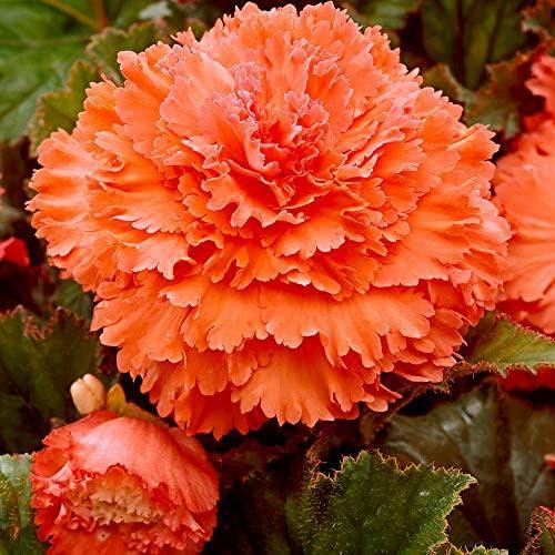 4 x Fimbriata Orange Begonia Bulbs//Tubers 5//6