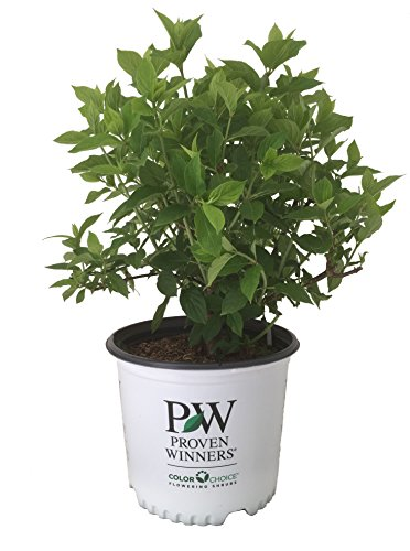 Proven Winners Limelight Hydrangea - Hydrangea P Limelight - 3 Gallon