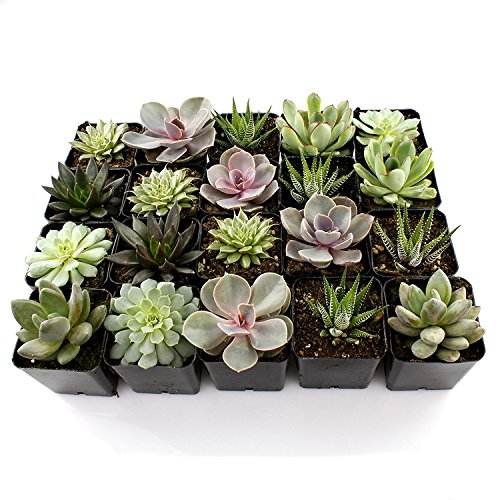 "2"" Succulent Mixed Varieties Flat of 8 by JM BAMBOO"
