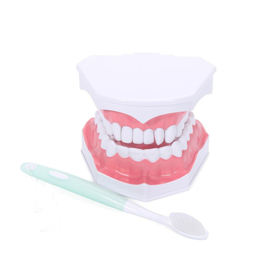 Oral Dentistry Dental Tooth Brushing Model for Teaching Demo Equipment with Removable Lower Teeth Educational Materials Dentist Tool