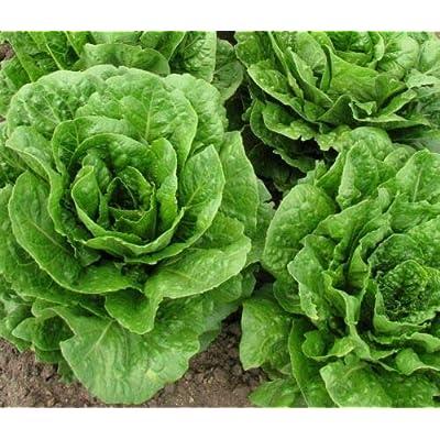 Buttercrunch Leaf Lettuce 1000 Seeds Butterhead Tender Fall Iron Bulk : Garden & Outdoor