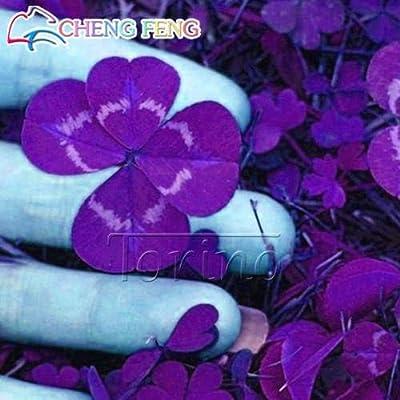 Home Garden Plant 200 Bonsai Repens White Dutch Clover Bonsai Four Leaf Clover Bonsai