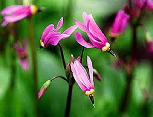 (25+ Pink Dodecatheon Shooting Star Flower Seeds/Shade Loving)