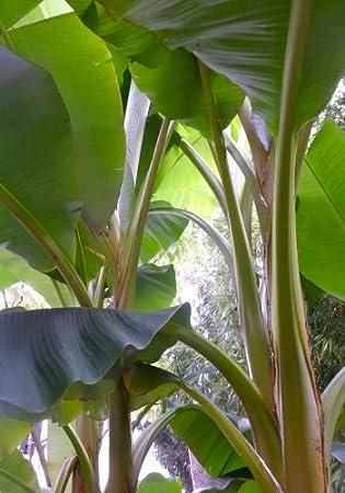 Beeindruckende Schneebanane.. winterharte Bananenstaude für den Garten Samen
