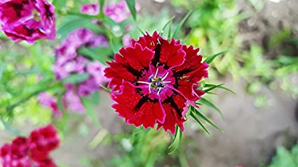 5f4e73dcaba2 Amazon.com  Home Comforts Canvas Print Red Dianthus Carnation Sweet ...