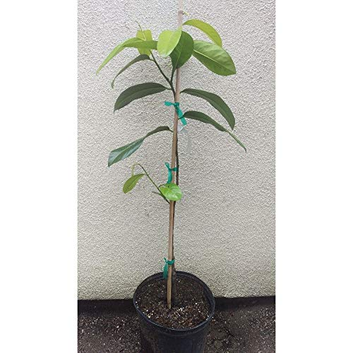 Black Sapote Tropical Fruit Trees 3 Feet Height in 3 Gallon Pot #BS1 by iniloplant (Image #1)