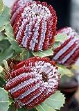Tropica - Proteen und Banksien - Scarlett Banksia (Banksia coccinea) - 5 Samen