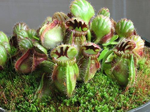 (Cephalotus Folliculari Carnivorous VERY RARE Australian Pitcher Plant 3)