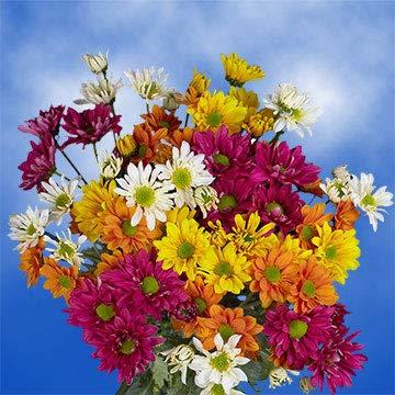 GlobalRose 72 Assorted Fresh Cut Chrysanthemums Daisies Flowers - Fresh Flowers For Birthdays, Weddings or Anniversary. by GlobalRose (Image #4)
