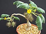 Uncarina Roesliana Exotic Rare Flowering Caudex Rare Succulents Seed 50 Seeds ecc002