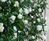 Lady Banks White Climbing Rose - 2-3 Feet Tall - Full Gallon Pot