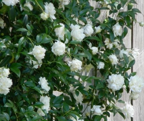 Lady Banks White Climbing Rose - 2-3 Feet Tall - Full Gallon Pot by newlifenursery1dotnet