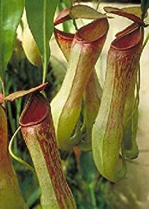 TROPICA - Nepenthes khasiana () - 10 semillas- Carnivore