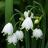 5 bulbs LEUCOJUM AESTIVUM AMARYLLIS FAMILY LARGE BULBS PLANT NOW= SPRING FLOWERS