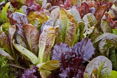 David's Garden Seeds Lettuce Tricolor Mix D343LET (Multi) 500 Organic Heirloom Seeds