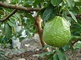 Thai Guavas Tropical Fruit Trees