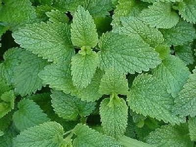 Lemon Balm - Melissa Officinalis - Live Herb Plant