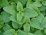 Lemon Balm – Melissa Officinalis – Live Herb Plant For Sale