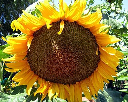 Grey Stripe Mammoth Sunflower Flower Seeds, 50+ Premium Heirloom Seeds, ON SALE!, (Isla's Garden Seeds), 90% Germination, Non Gmo Organic