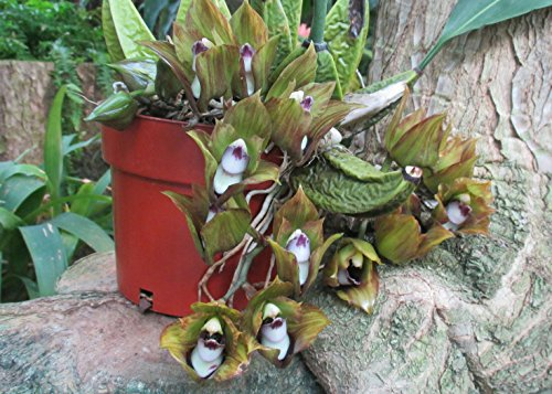 Bifrenaria tetragona has a strong scent of rotten meat and is not suitable for house decoration.